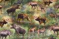 Bomuldsjersey med elge i skoven