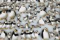 Største pingvin er ca. 11 cm.