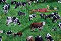 Grøn patchwork bomuld med køer på græs.