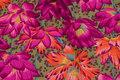 Flot bomuld fra Rowan med store blomster i fuchsia og orange.