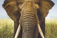 Forstykke-bomuldsjersey med kæmpe elefanthoved