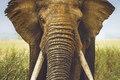 Forstykke-bomuldsjersey med kæmpe elefanthoved.